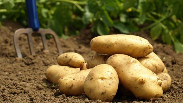 Solucan Gubresi patates gubresi