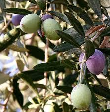 zeytin ekosolfarm solucan gubresi